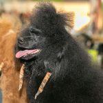 Hundeausstellungen in Österreich