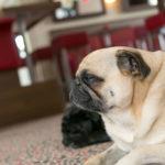 Bürohunde: Vorteile und 10 Grundregeln